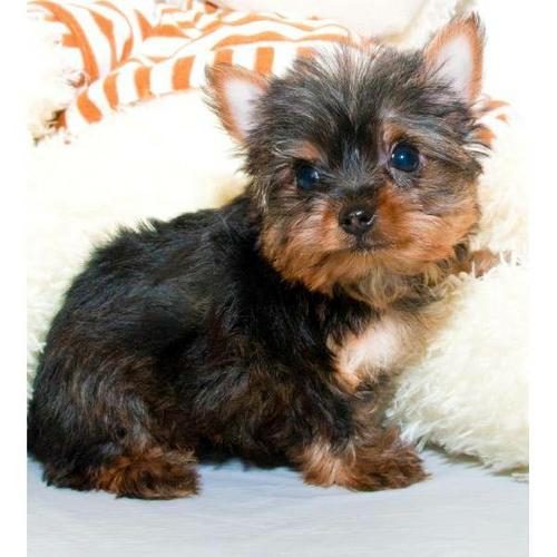Quality Teacup Yorkies Puppies:.... (240) 466-4864