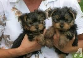 cute free SWEET Y.O.R.K.I.E Puppies:???(770) 232-6588