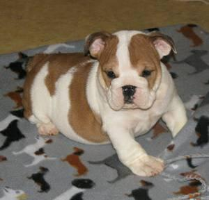 $75 Male $75 Female well behaved E.n.g.l.i.s.h B.u.l..l.d.o.g Puppies looking for good Home EMAIL fo