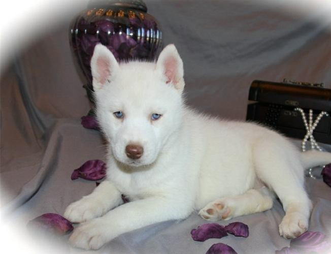 Gorgeous s.i.b.e.r.i.a.n h.u.s.k.y puppies looking for good homes//(720) 538-3174