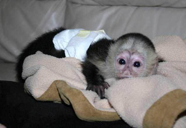 Cute C.a.p.u.c.h.i.n monkeys:contact us at(561) 465-4260