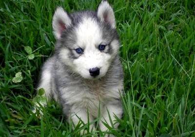 Blue Eyes male and female Siberi.a.n hus.k.y Pu.ppies ) Need Hom