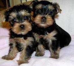 ?Y.o.R.k.i.e P.upp.i.e.s For F.r.e.e, (469-299-8748/Ready Now 12 Weeks Old #