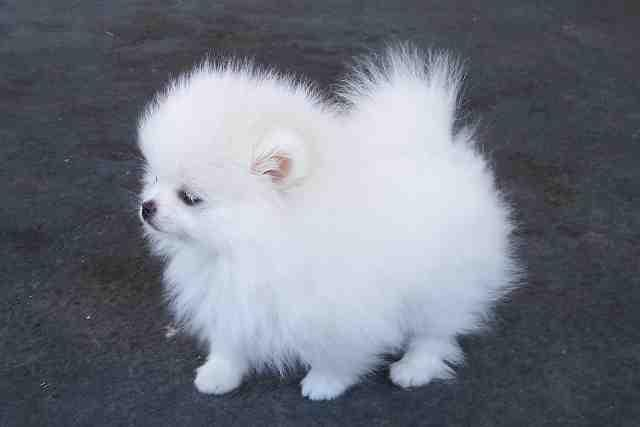 ** Quality Teacup Pomeranian Puppies:....**