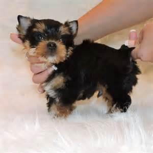 ?Y.o.R.k.i.e P.upp.i.e.s For F.r.e.e, Ready Now 11 Weeks Old (678) 734-2607