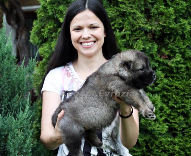 Caucasian puppy - high quality - good price