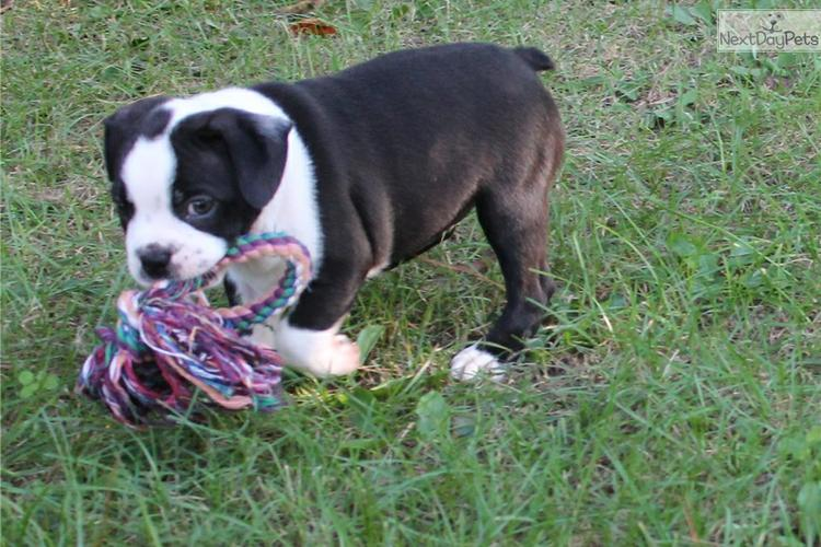 outstanding boston Terrier for sell she is so beautiful and well brought up emil ioveben655@gmail.co