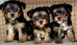 CUTE Y.o.r.k.s.h.i.r T.e.r.r.i.e.r Puppies: call us at (801) 516-6464