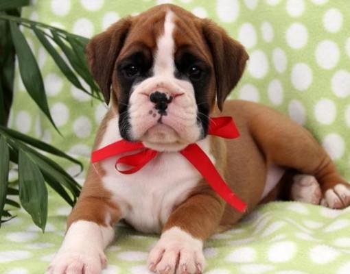 Charming boxer puppy looking for a new home