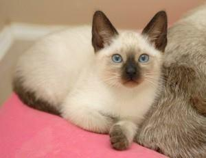 QUALITY Male And Female Siamese Kittens Ready for rehoming.