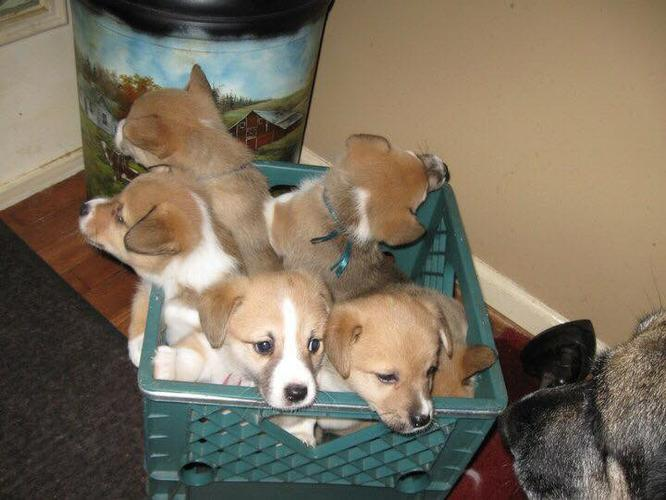 Free CORGI puppies AVAILABLE  FOR A LOVELY HOME.