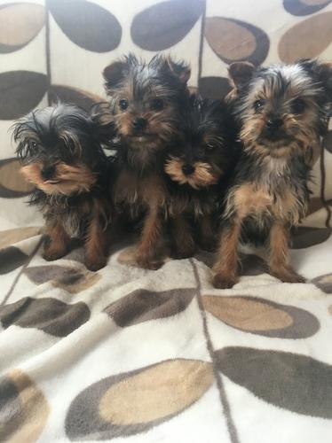 Quality Tea Cup Yorkie puppies available for Adoption