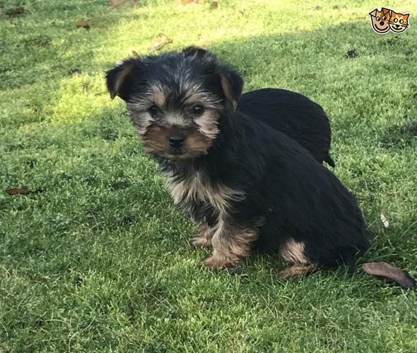 Playful and adorable Yorkie puppies