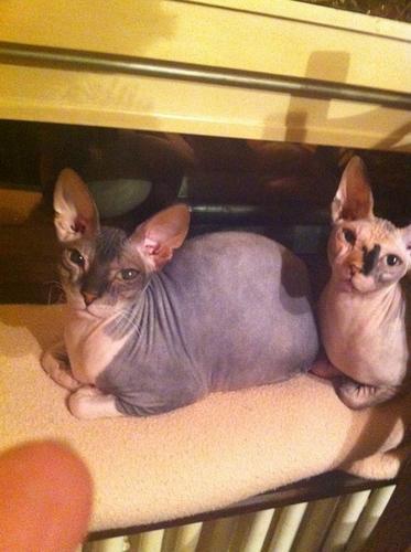 Gorgeous male and female. _.Sphy.nx kitt.en_