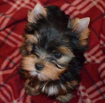 AKC REGISTER YORKIE TINY T-CUP M/F PUPPIES FOR RE-HOMING(302) 400.4527