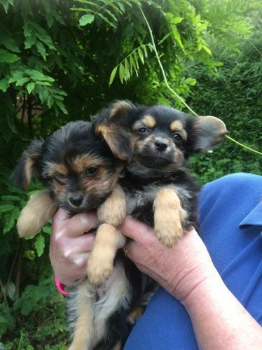 FR.FREE well behaved  Y.O.R.K.S.H.I.R.E  puppies ready for new families.Contact at 240-316-4383 for