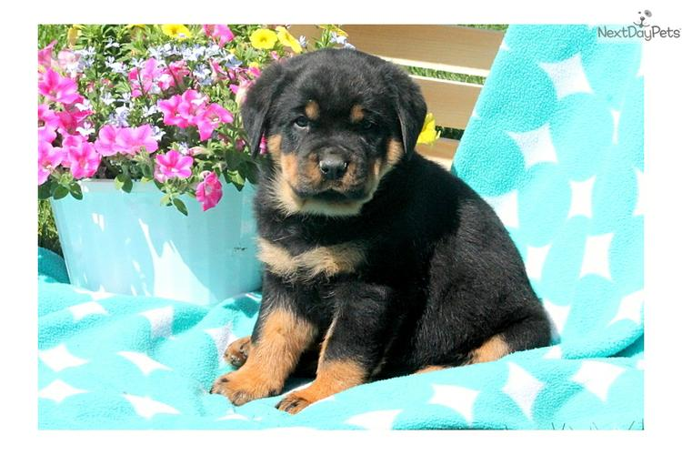 *Top Quality Female and Male R.o.t.t.w.e.i.l.e.r puppies (757) 231-5246