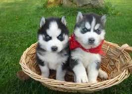CUTE S.I.B.E.R.I.A.N H.U.S.K.Y Puppies: contact us at (337) 940-9670