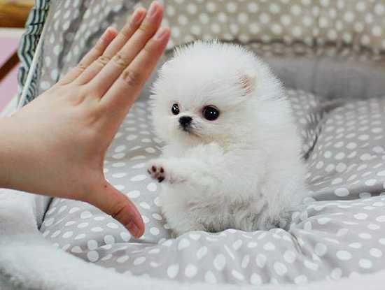 100% pure breed P.o.m.e.r.a.n.i.a.n puppies (701) 660-2044.b