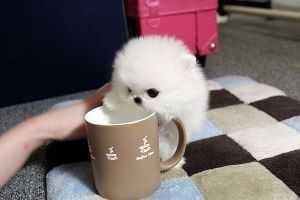 100% pure breed P.o.m.e.r.a.n.i.a.n puppies (701) 660-2044.bd