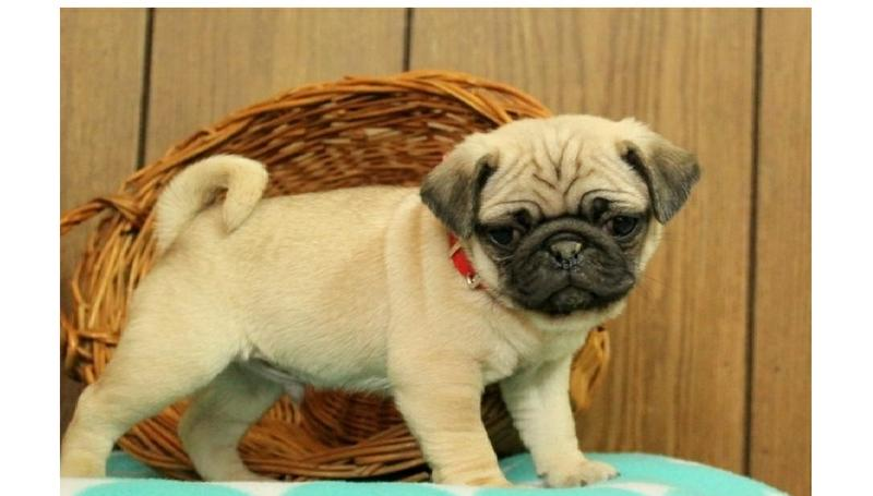 Two Gorgeous P.u.g.  Puppies Available..
