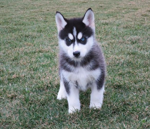 CUTIE S.I.B.E.R.I.A.N H.U.S.K.Y Puppies: contact us at  (770) 966-4737