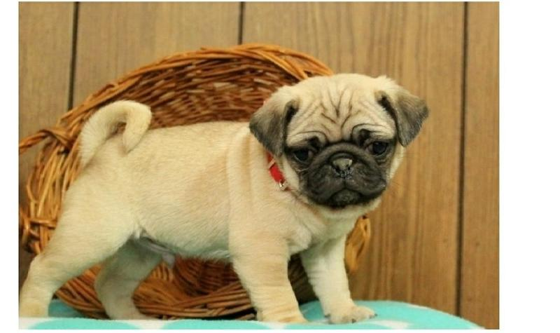 Two Gorgeous P.u.g.  Puppies Available