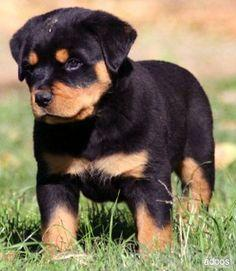 Three Gorgeous R.o.t.t.w.e.i.l.e.r Puppies Available. (408) 703-7118