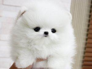 Healthy .....POMARANIAN... puppies....(401) 552-3916