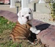 Two CUTE Pedigree Englishh Bulldoggs P.u.p.p.i.e.s for Loving Homes!!!410424-6784