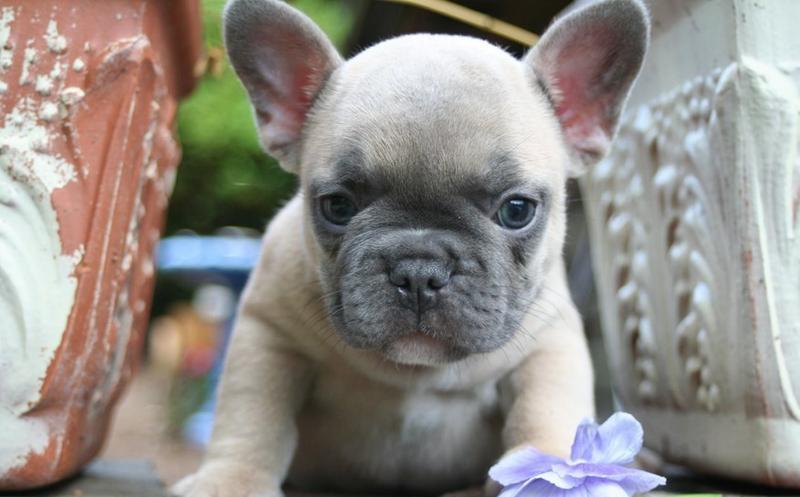 Top Quality Frenc.h Bulldo.g Pups . (701) 446-8139