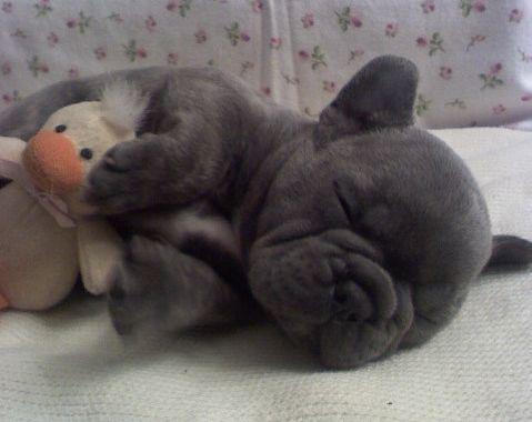 CUTIE F.R.E.N.C.H B.U.L.L.D.O.G Puppies: contact us at (717) 715-0885