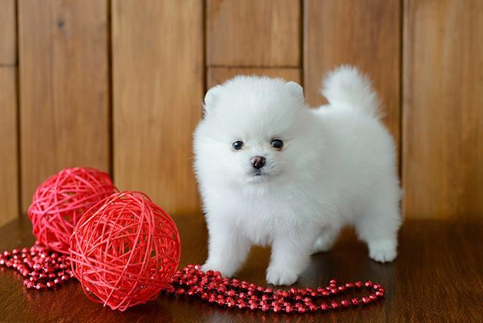 Adorable micro t-cup Pomeranian puppies for new homes!