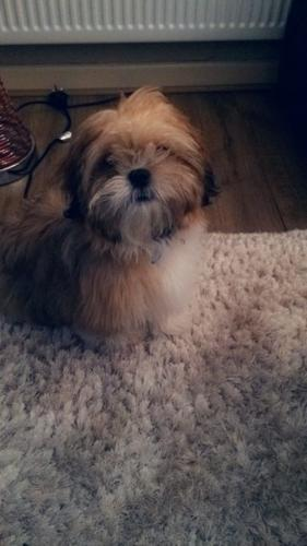 Fully top quality SHIH TZU puppies For Adoption male and female.