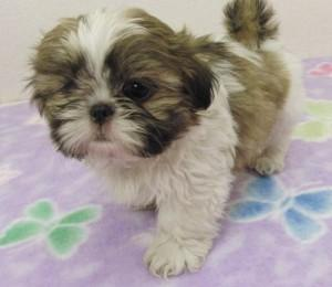 Amazing Shih Tzu puppies available now text - (410) 650-5897