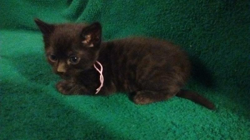 Beautiful friendly Bengal kitten to a good home