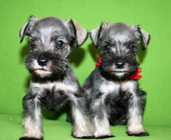 Cute Mini Schnauzer Puppies Ready For Sale.