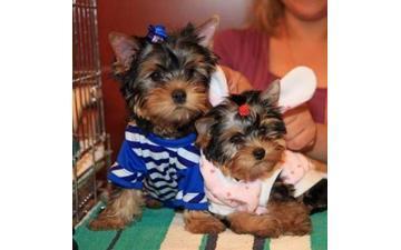 Pretty male and female  Y.o.r.k.s.h.i.r.e Puppies(302)583-3421
