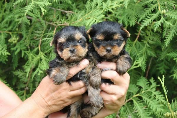 *Top Quality Y.o.r.k.i.e puppies(484) 466-6216