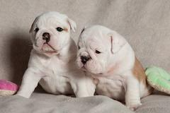 -Quality~~~ Akc E..ng..l..i.sh.. B.,..ull.,do,g Puppie's contact 484-816-4272