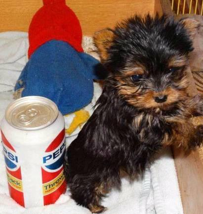 ?Y.o.R.k.i.es P.upp.i.e.s For F.r.e.e, (770) 756 8621 /Ready Now 12 Weeks Old #