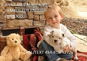 Quality~~~ Akc E..ng..l..i.sh.. B.,..ull.,do,g Puppie's contact 484-816-4272
