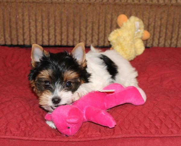 Available now, AKC Yorkie Puppies