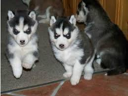 %$% Free Fantastic Female and Male H.u.s.ky Pu.pp.ies for new home %$% (310) 881-5302