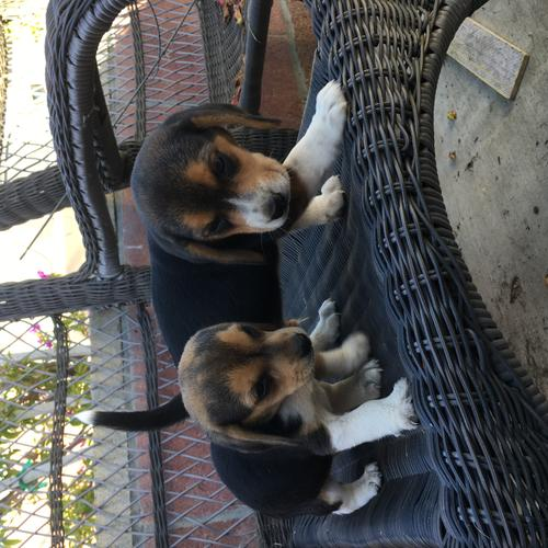 Puppies Beagle one male one female
