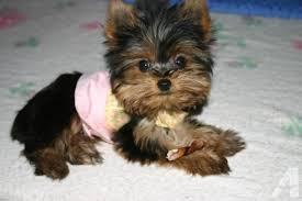 $%???EXCELLENT..FREE..MALE AND FEMALE. ????Tea-cuP????Yorkies%???Pu.ppies%$%$*(404) 827-8596