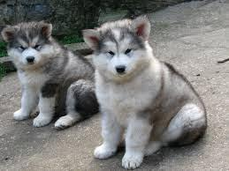 ALASKA MALAMUTE PUPPIES AVAILABLE NOW