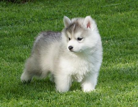 Healthy P.O.m.A.R.A.N.I.A.N puppies!!!(785) 363-9340