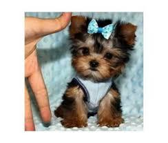 ??? Toy Teacup Yorkies Puppies:....(720) 378-6339???