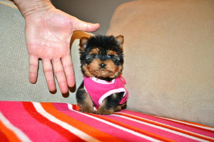 sweeest M.o.r.k.i.e Puppies:???contact us at (770) 679-6977